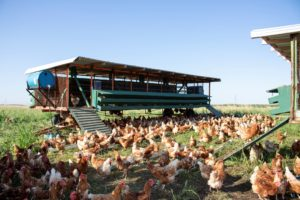 Chickens grazing on Burroughs Family Farm
